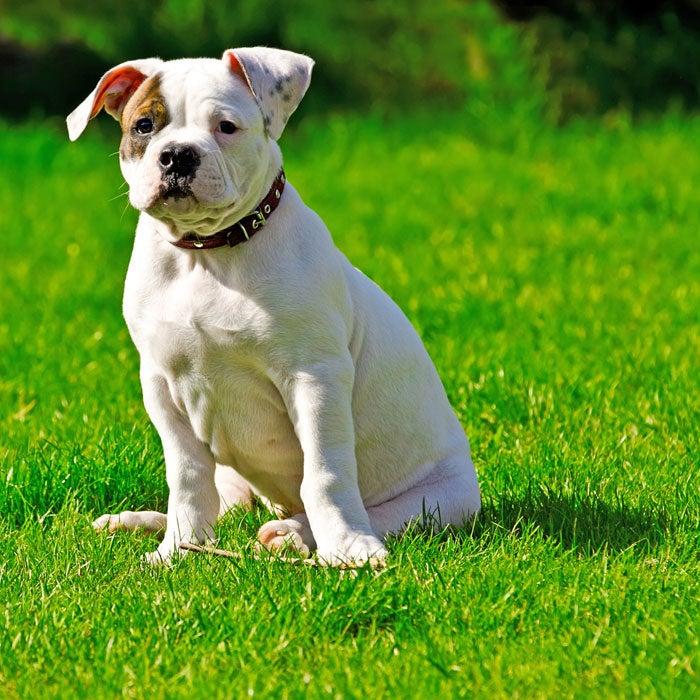 bulldog most popular