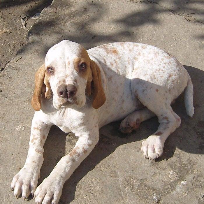 catalburun rarest dogs