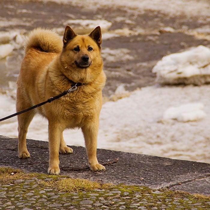 finnish spitz rarest dogs