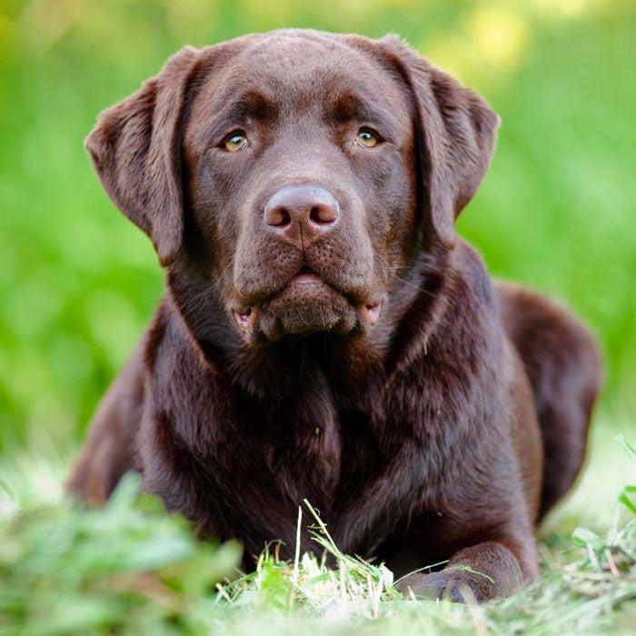 labrador most popular dogs