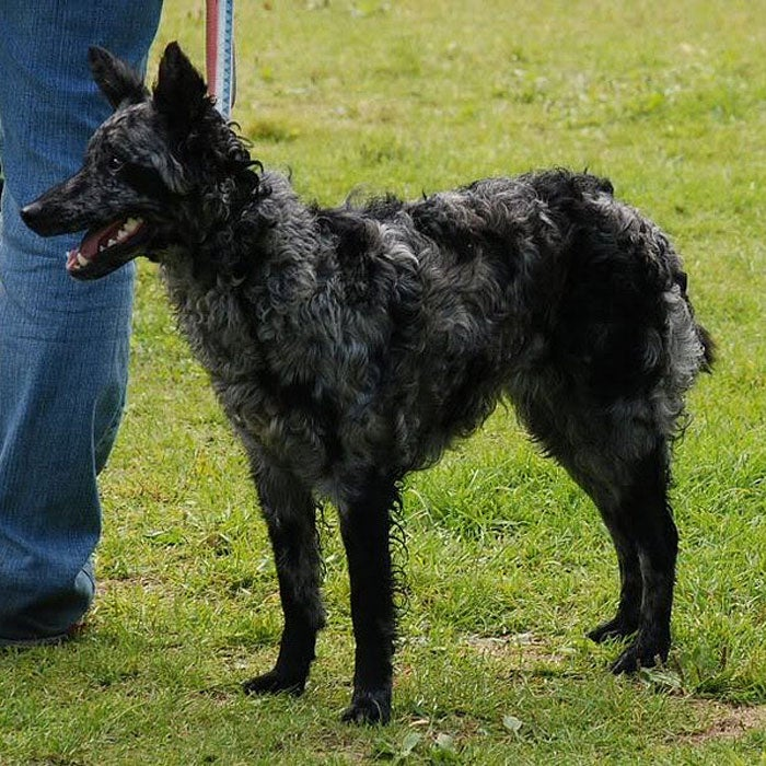 mudi rarest dogs