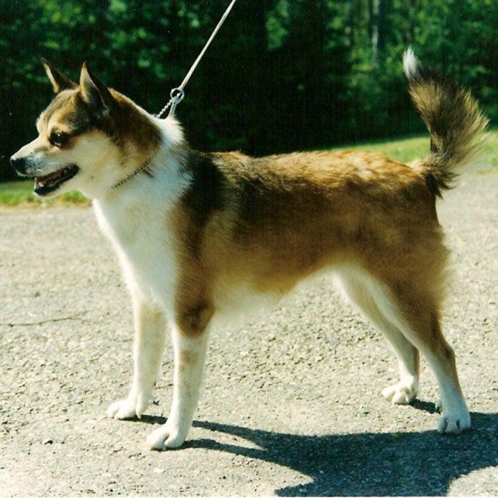 norwegian lundehund rarest dogs