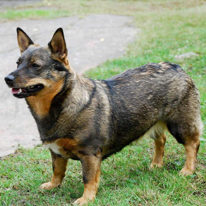 swedish vallhund rarest dogs