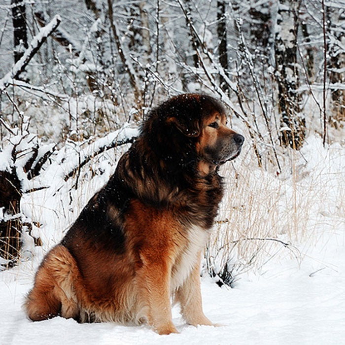 tibetan mastiff rarest dogs