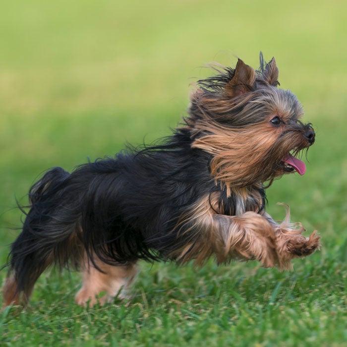 yorkshire terrier most popular