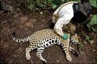 Volunteer with jaguar