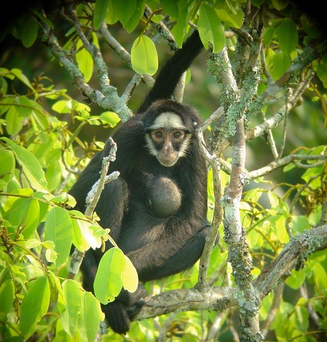 White-whiskered spider monkey