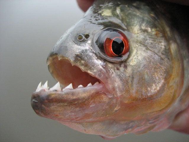 piranha attack survival apocalypse