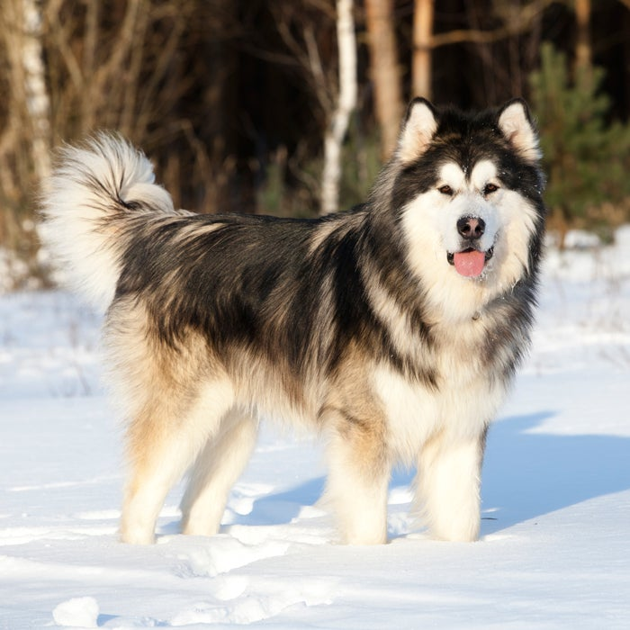 """Bred to haul heavy loads, run, and roam, the Alaskan Malmute is the ultimate cold-weather canine. """"The Alaskan Malamute is a great cold weather breed because of its origin—they come from Alaska and are the oldest and largest of the Arctic sled dogs, having been used for freighting in the Arctic,"""" says Gina DiNardo, vice president of the American Kennel Club. """"They have a thick, coarse coat that keeps them warm."""""""