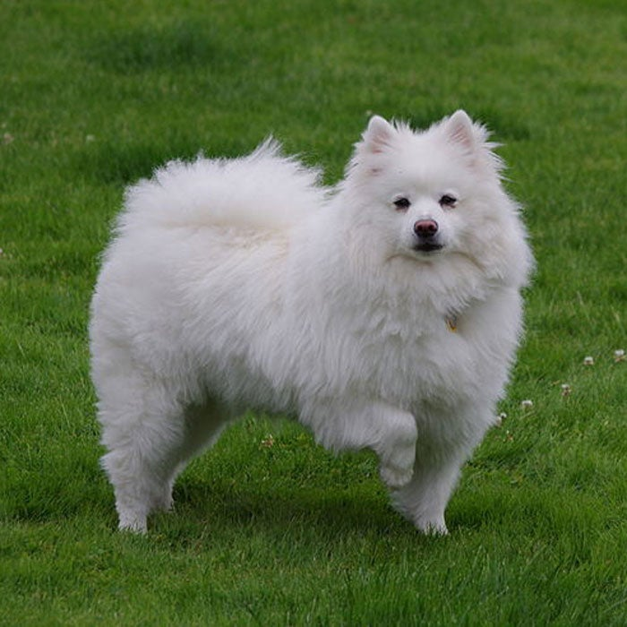 Originating from Germany, the American Eskimo was originally called the White German Spitz but was renamed after World War II, most likely for its white coat--not for any connection with Eskimos. Though this playful and compact and used to perform indoors with the Barnum and Bailey Circus, outdoor activity suits it much better; its coat resists soaking and thick ears stay warm in low temperatures.