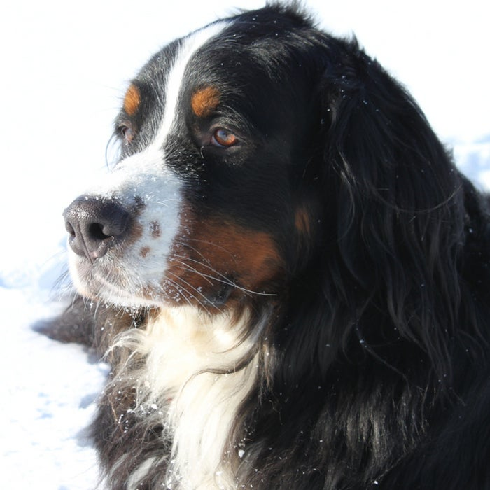 This dog has it all—strength, speed, and agility—but will still be completely devoted to its owner with its gentle temperament and low exercise needs. The breed, originally bred as a drafting and driving dog in Switzerland, is sturdy and large enough to carry it's own gear--and some of yours, too.
