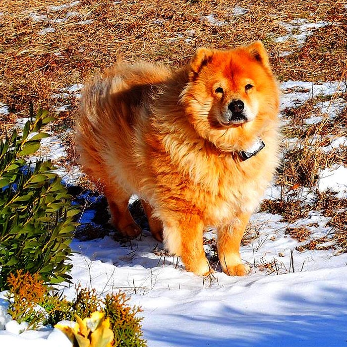 """Chow Chows are perhaps best known for their black tongues and wooly coats, which make them extremely tolerant to cold temperatures. """"If you love the outdoors and are owned by a Chow Chow, then you should take him or her everywhere you go in the snow,"""" says Pat Foose, co-owner of Colorado-based Pendleton Chows. """"Chows are most delighted when with their humans."""""""
