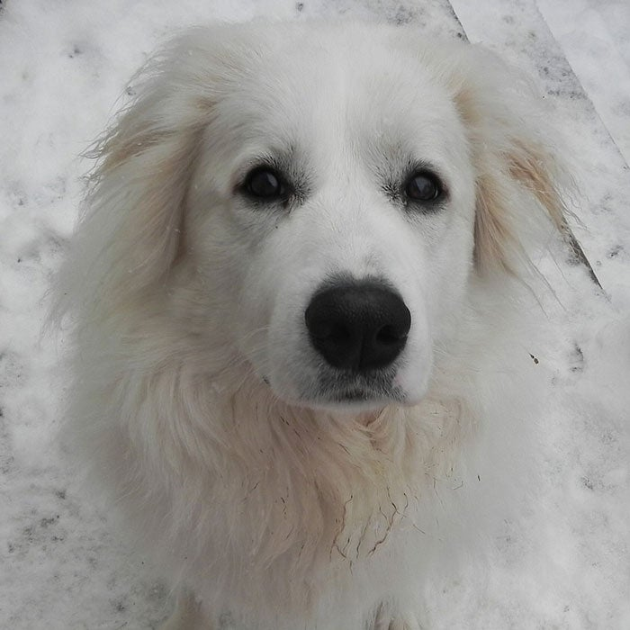 """The Great Pyrenees were once used to herd livestock on steep mountain slopes of France and will eagerly embark on a tough, rugged hike. These dogs, which weigh in at 80 to 100 pounds, are elegant and calm—they were, after all, the Royal Dog of France. """"They are the gentlest of the guarding breeds, the longest living on the whole of the giant breeds, and are easy to care for,"""" says Carrie Stuart Parks, president of the Great Pyrenees Club of America. """"They love winter. Their thick, double coat protects them from all but the most artic of temperatures."""""""