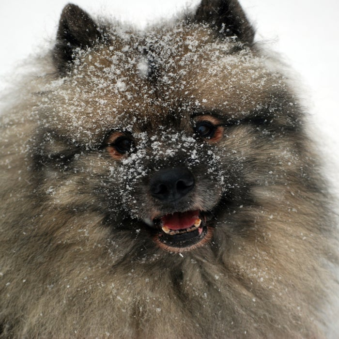 """The thick fur and downy undercoat on this super affectionate pooch create insulation from harsh temperatures and damp climates, and its color pattern often gives it a pair of """"spectacles."""" """"The Keeshond has a very thick coat that kept it warm when it served as a watchdog on riverboats in Holland,"""" DiNardo says. At one point, the Dutch Patriot Political Party even used the Keeshond as their mascot. The Keeshond is friendly, learns quickly, and is readily active, but is still okay with taking it easy at home as a friendly pet. These pooches need quite a bit of exercise, or else they'll end up spinning in circles, literally."""