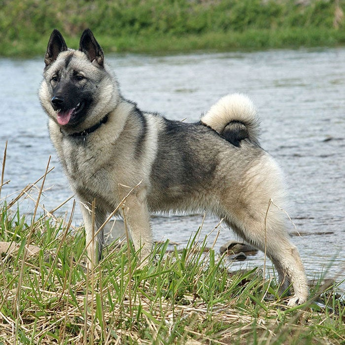 """An ancient breed from Scandinavia with Nordic traits, the Norwegian Elkhound is used to hunting in the cold climate it came from,"""" says DiNardo, adding that these characteristics have stayed with the breed. Always ready for adventure—especially in the snow—the high-energy Norwegian Elkhound has a smooth outer coat and a wooly undercoat. The breed was originally used for hunting elk, but now are perfect hiking dogs with high agility, lasting endurance, and a penchant for protecting their owners."""