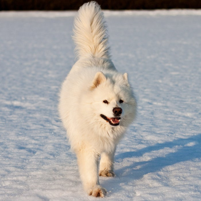 """Who doesn't want to wake up to the """"Samoyed Smile"""" everyday? These playful, yet gentle dogs are perfect as companions, but need plenty of physical and mental exercise. The Samoyed, from Siberia, was originally bred for herding reindeer, hunting, and hauling sledges, says DiNardo. Now, its compact build mixed with an agile grace make it a strong, fun breed."""