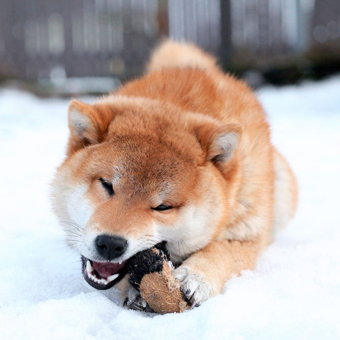 """Shiba Inus have thick fur and a double coat. These confident dogs are quite spirited, very vocal, and always ready to explore. """"Goku absolutely loves the snow,"""" says one owner of a two-and-a-half year old Shiba. """"I call it romping—he romps all day. I have countless videos of him swimming in the snow, and he loves searching for things in the snow, too."""""""