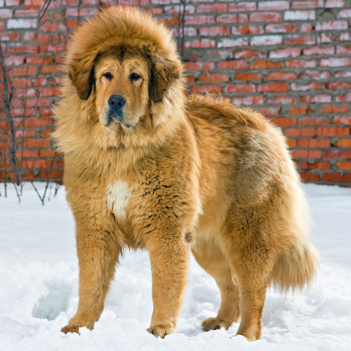 Tibetan Mastiffs, which were once isolated in the Himalayas, are comfortable in both cold and warm temperatures—they have an immense double coat that keeps them insulated, says DiNardo, with the undercoat heavier in the winter but lightening up in the warmer months. Most often Tibetan Mastiffs are black or brown in color, but the Red Tibetan Mastiff is said to be the world's most expensive dog; one pup sold for $1.5 million. Recently, this pooch was mislabeled as an African Lion in a China Zoo—visitors were not pleased when the lion started barking.