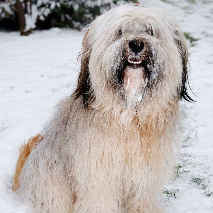 The Tibetan Terrier is built to withstand the extreme climate and terrain of its home country of Tibet, says DiNardo. The dogs have large, flat, round feet that provide traction in heavy snow—much like snowshoes—and a protective double coat. This breed is gentle and makes for a great companion both on outdoor adventures or relaxing on the couch.Don't let their size fool you. Tibetan Terriers, originally bred and raised in monasteries 2,000 years ago, make for excellent outdoor companions. Kept as good-luck charms and watchdogs, and originally used for herding sheep as well as retrieving items that off mountainsides, Tibetan Terriers are agile, excellent in the snow, and love to climb.