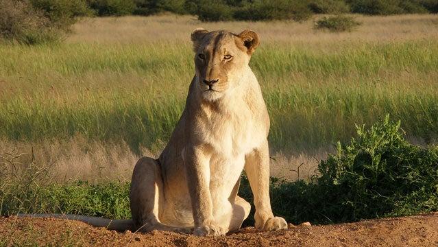 safari botswana namibia africat africa conservation safari safari