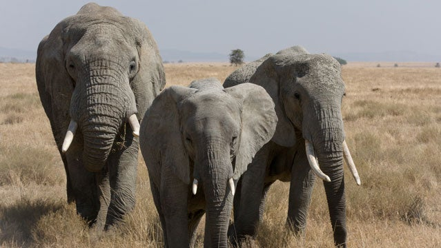 100 miles for elephants african elephants safari
