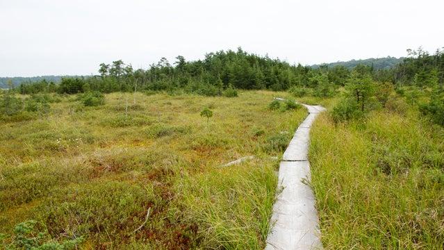 Ponkapoag Bog Boardwalk in the Blue Hills Reservation.