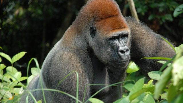 gorilla tracking in the congo safaris congo africa conservation safari