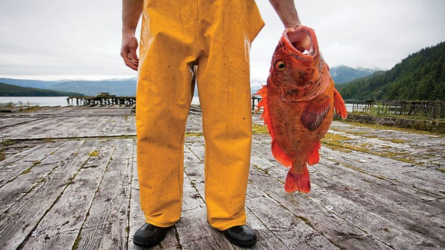 20-24 years 20s adult adult Alaska animals bony fish Caucasian ethnicity clothing Cordova cropped fish fisherman holding low section male men North America occupations one one person outdoors outerwear Pacific States people real people snapper standing town USA Valdez-Cordova Census Area waders young adult young adult man FRESH SALMON SEA KAYAKING KING CRAB