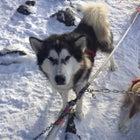 dogsled Minnesota Katie Heaney Ely Iditarod Wintergreen Dogsled Lodge