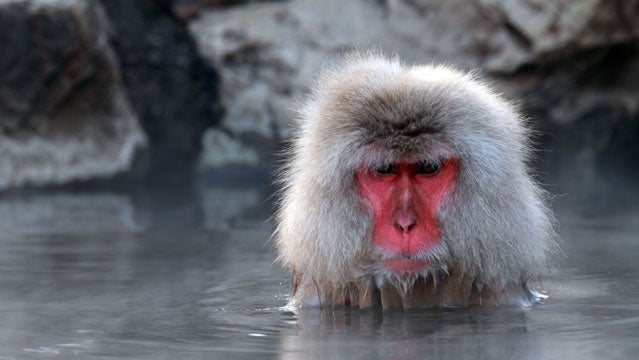 hot springs japan monkey macaque snow monkey spa outside travel awards