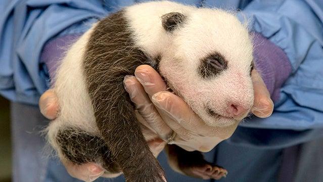 san diego zoo baby panda pandas cute animals