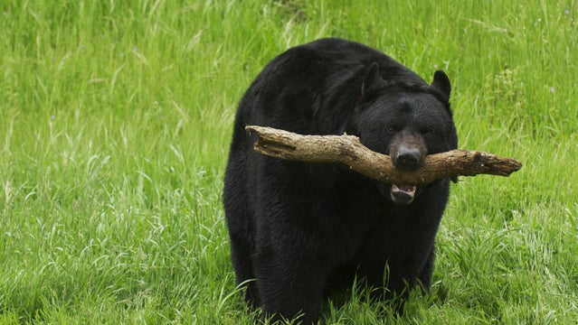 black bear attack azougar