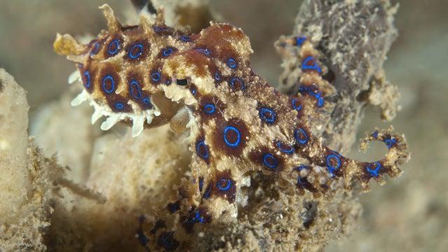 blur ringed octopus sea food death
