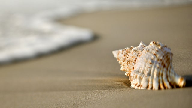 conch shell dangerous deaths