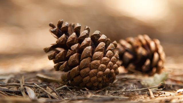 pine cone death