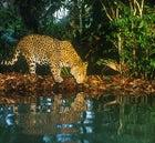 The elusive Jaguar in Belize