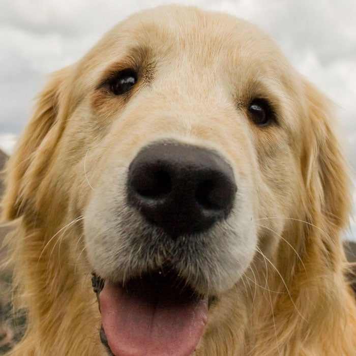 black cloud consoling cute dog eye fun golden retriever hair mountain nature nose outside sky stock tonge white