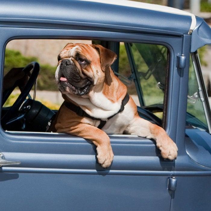 """32 deuce"" ""dog show"" ""morro bay"" ""street rod"" 10may2009 Canine deuce ford hotrod"