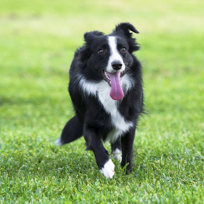 """""""When I think of border collies, I immediately think of frisbees!"""" says Estrada.  """"Border collies are so perfect for the park in any warm climate."""" This breed is extremely energetic, acrobatic, smart, and athletic. Not ideal for apartments, collies need plenty of space and nice weather to run around in. They are one of the most intelligent breeds (hello, Lassie!), but with that, they'll need to be trained or else you'll be dealing with a terror of a dog—this breed isn't good for first time owners or families who won't have time to deal with obedience. Estrada says that border collies herding instincts, along with trainability, speed, agility, and stamina, have allowed them to dominate in dog activities like flyball, frisbee, and disc dog competitions. Ultimate four-legged frisbee anyone?"""