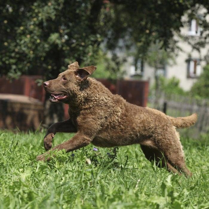 Chesapeake Bay Retriever dog hot weather dogs