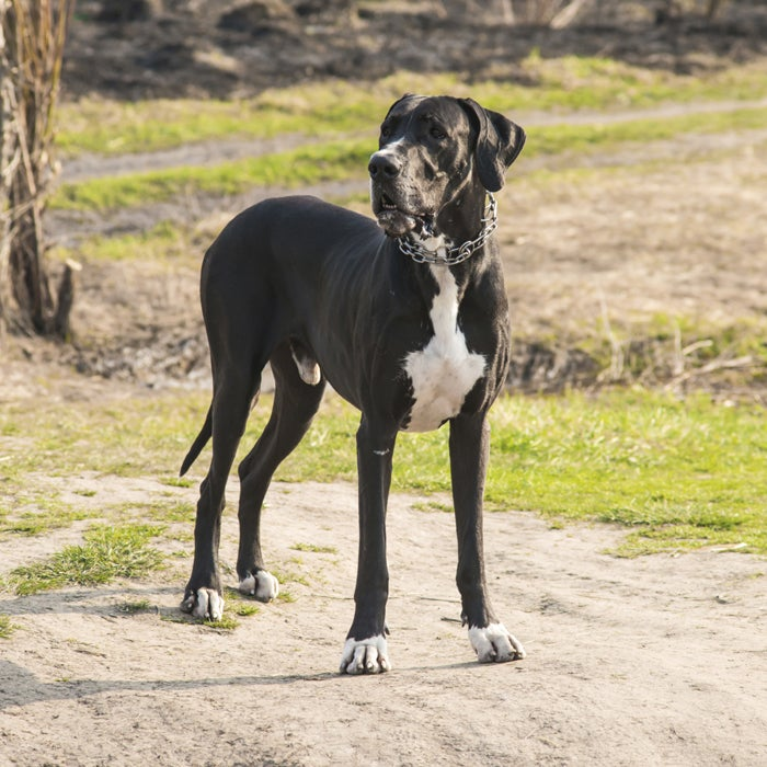 """A great dane might not join you on a hike, but will certainly snuggle up with you. They love to laze around on the couch, the bed, or even your lap and they love to lean on you, but they especially love the heat. """"They are obsessed with heat, whether it be the heater vents or the fireplace—they are right next to them if they're on,"""" says one owner of two Great Danes, Bella and Gabby. """"When it's 90 degrees outside, they will lay right where the sun is beating down and we have to beg them to come in and cool down."""" These gentle giants are part of the Mastiff family and aren't actually from Denmark—the breed was developed in Germany. Danes are one of the tallest dogs but have one of the shortest life expectancies."""