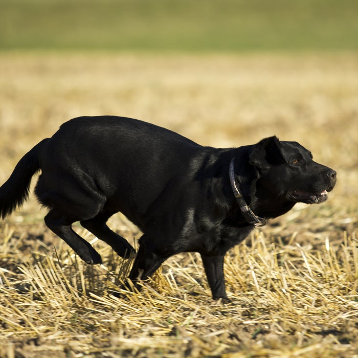 """Labs are a special mix of toughness and playfulness that can thrive in both cold and hot temperatures, but if you think your Lab loves to play in the yard or roll around in the snow, just get him near a lake or ocean. """"Labs typically love anything that has to do with water—lakes, pools, beaches,"""" says Estrada. """"When I think of labs, I think of a fun-loving and boisterousness along with a lack of fear of anything so they are always game for new adventures. Labs are high-energy dogs who never seem to tire and are constantly looking for activity with their owners."""" The breed actually comes from the Newfoundland breed, so the water-loving gene make sense as Newfies are known for being rescue water dogs. Estrada notes that Labs are not only great around the water, but they are also the perfect breed to take running on the beach. Got a bright orange floaty toy and a lake? You and your four-legged friend will be set for hours.  Labs have webbed paws that make it easy to stay afloat and swim for quite a distance, as well as a water-resistant, slightly oily coat and a rudder-like tail to propel the pooch along.They are also great jumpers and can fly off a pier without a problem."""