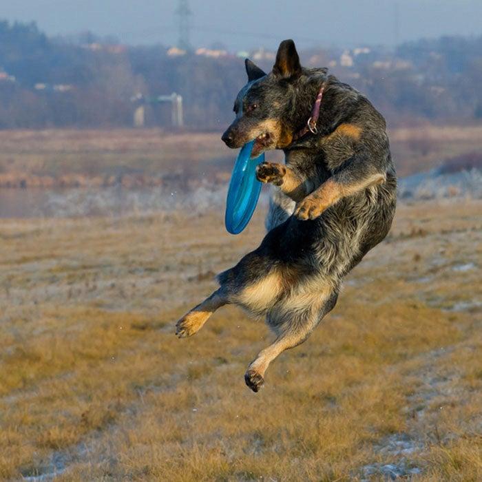 australian cattle dog best active dogs