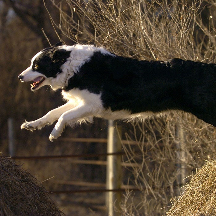 border collie best running dogs