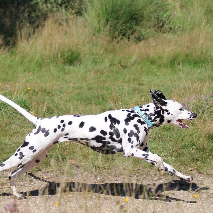 dalmatian best running dogs