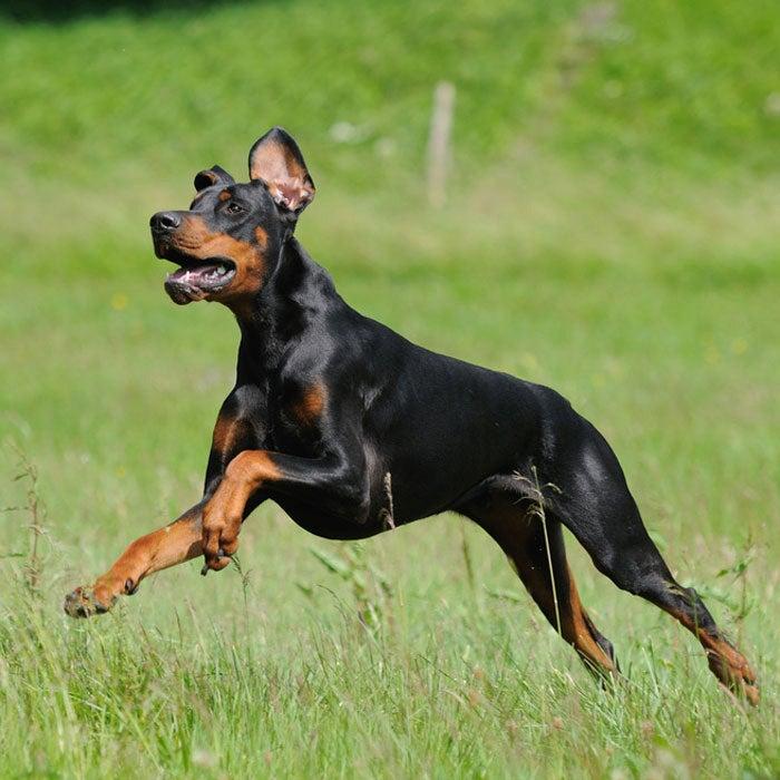 doberman pinscher best active dogs