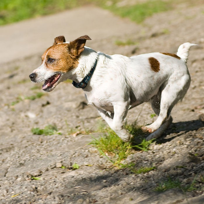 jack russell terrier best running dogs