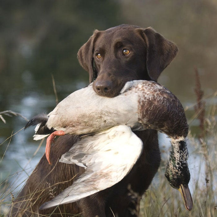 labrador retriever best hunting dogs