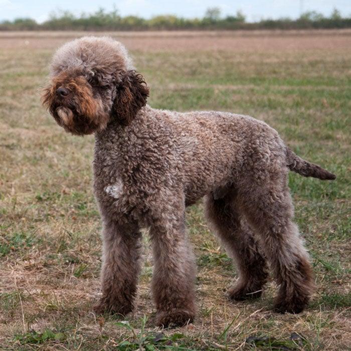 lagotto romagnolo rarest dogs