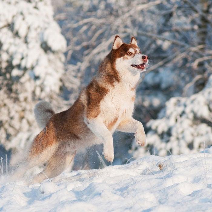 siberian husky best active dogs